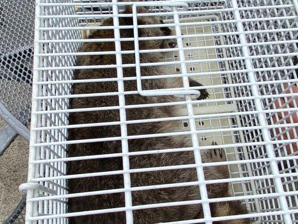 Tierrettung – Waschbär betäuben