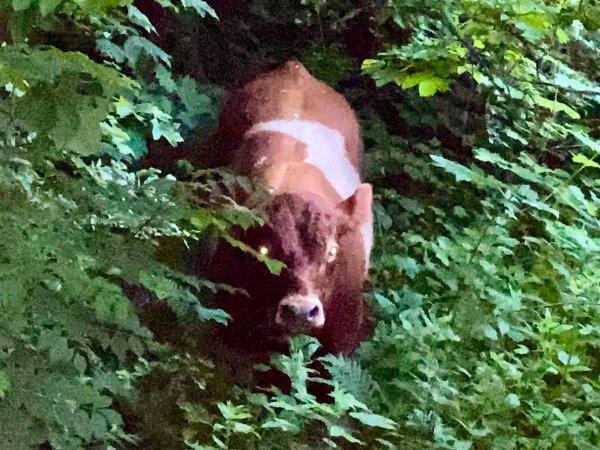 Tierrettung – Entlaufene Rinder